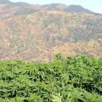 Марокко хочет легализовать выращивание и экспорт марихуаны