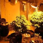 Частный дом был заполнен коноплей, полиция обнаружила более 800 растений