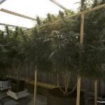 Выращивали марихуану в двух частных домах