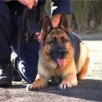 Служебные собаки и каннабис