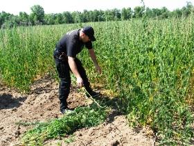 нациОнальная полиция украины, каннабис, марихуана, преступление, задержание, арест, заключение, сводки полиции, наркопритон, плантация конопли,
