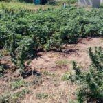 Полицейские в г. Скадовск разоблачили наркопритон и обнаружили посев конопли