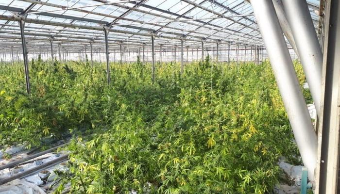 плантация марихуаны, украина, ивано-франковская область, 2019, выращивание марихуаны,