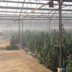 100K кустов и свыше тонны марихуаны